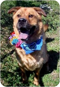 Chow Chow/Shepherd (Unknown Type) Mix Dog for adoption in Huntington, New York - Collin