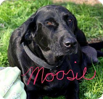 Labrador Retriever Dog for adoption in Deer Park, New York - Moo Moo