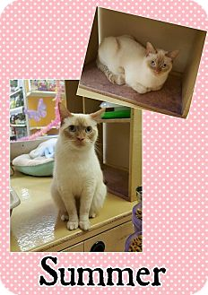 Siamese Cat for adoption in North Richland Hills, Texas - Summer