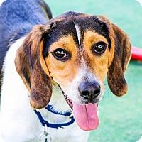 Adopt A Pet :: Banjo - Houston, TX