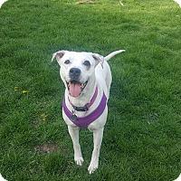 Adopt A Pet :: Bella - Troy, MI
