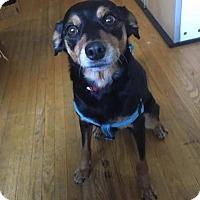 Adopt A Pet :: Antona (Annie) - Toronto, ON