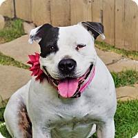 Adopt A Pet :: SADIE - Waterbury, CT
