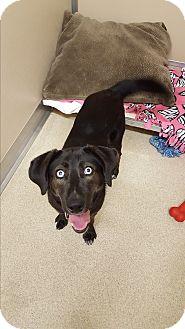 Husky/Labrador Retriever Mix Dog for adoption in Naperville, Illinois - Precious