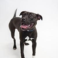 Adopt A Pet :: Louie - Alexandria, VA