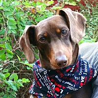 Adopt A Pet :: Chocolate/cream Doxie Puppy - Portland, OR