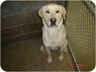 Labrador Retriever Mix Dog for adoption in Post Falls, Idaho - Maverick
