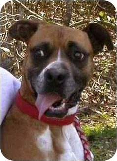 Boxer Dog for adoption in Albany, Georgia - Lucy
