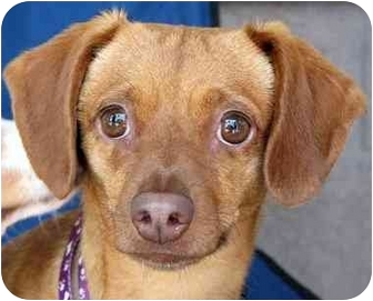 Terrier (Unknown Type, Small) Mix Dog for adoption in Vista, California - Huera