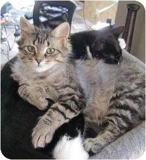 Domestic Mediumhair Cat for adoption in Cambridge, Ontario - Katy