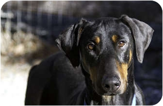 Doberman Pinscher Dog for adoption in Greensboro, North Carolina - Meadow