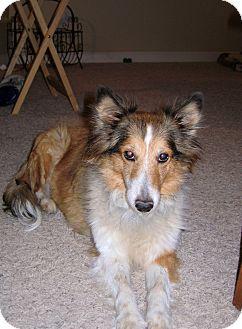 Sheltie, Shetland Sheepdog Dog for adoption in apache junction, Arizona - Hope