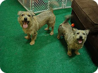 Terrier (Unknown Type, Small)/Dachshund Mix Dog for adoption in Youngwood, Pennsylvania - Molly