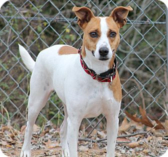 Jack Russell Terrier Mix Dog for adoption in hartford, Connecticut - Bella