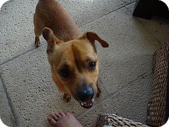 Pug/Chihuahua Mix Dog for adoption in Davie, Florida - Milo