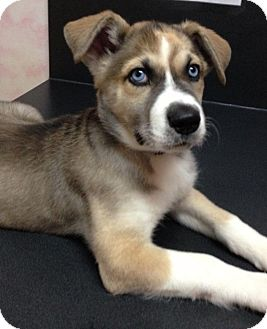 Husky Mix Puppy for adoption in Somers, Connecticut - Violet - ADOPTION PENDING