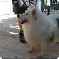 Adopt A Pet :: Chip - apache junction, AZ