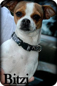 Chihuahua Mix Dog for adoption in Vancleave, Mississippi - Bitzi