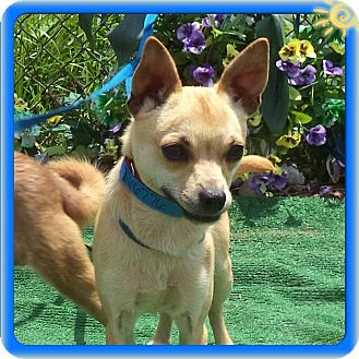 Chihuahua Mix Dog for adoption in Marietta, Georgia - CHRIS (R)