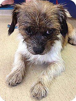 Cairn Terrier/Shih Tzu Mix Dog for adoption in Seguin, Texas - Lance