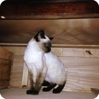 Siamese Cat for adoption in Marietta, Georgia - Marley