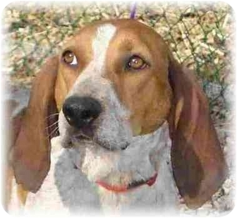 Coonhound/Brittany Mix Dog for adoption in Wyoming, Minnesota - June