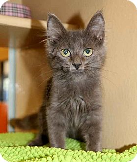 Domestic Mediumhair Kitten for adoption in Plano, Texas - CHRIS - CUTE GRAYBIE BABY