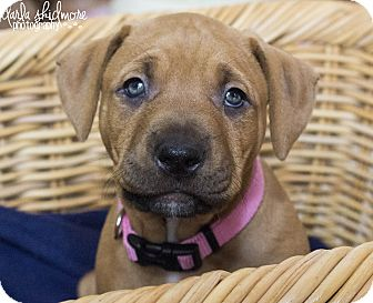 Pit Bull Terrier/American Staffordshire Terrier Mix Puppy for adoption in Charlotte, North Carolina - Mags (Hunger Games Litter)
