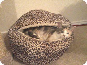 Calico Cat for adoption in Mansfield, Texas - Camilla