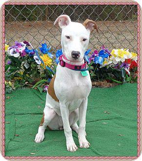 Pointer/Labrador Retriever Mix Dog for adoption in Marietta, Georgia - COOKIE