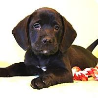 Adopt A Pet :: *Canyon - PENDING - Westport, CT