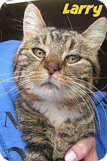 Domestic Shorthair Cat for adoption in Menomonie, Wisconsin - Larry