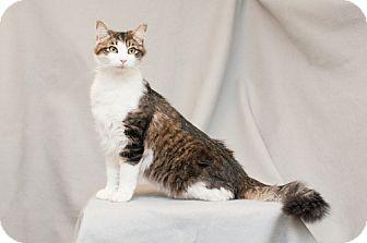 Domestic Mediumhair Kitten for adoption in Cary, North Carolina - Rollo