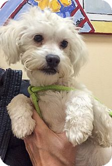 "Maltese/Poodle (Miniature) Mix Dog for adoption in Seattle, Washington - ""Tilly"""