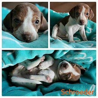 Beagle Mix Puppy for adoption in Garden City, Michigan - Schroeder
