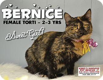 Domestic Shorthair Cat for adoption in Davenport, Iowa - Bernice