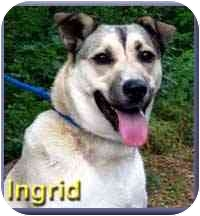 Shepherd (Unknown Type) Mix Dog for adoption in Aldie, Virginia - Ingrid
