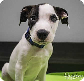 American Staffordshire Terrier/Pit Bull Terrier Mix Puppy for adoption in Charlotte, North Carolina - Two Face (Gotham Litter)