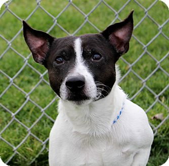 Jack Russell Terrier Mix Dog for adoption in Liberty Center, Ohio - Rascal