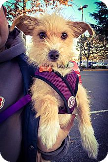 """Jack Russell Terrier/Terrier (Unknown Type, Small) Mix Dog for adoption in Seattle, Washington - """"Sophie"""""""