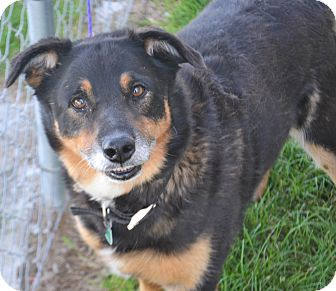 Australian Shepherd/Shepherd (Unknown Type) Mix Dog for adoption in Fruit Heights, Utah - Abbey