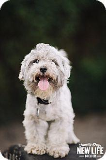 Poodle (Miniature)/Bichon Frise Mix Dog for adoption in Portland, Oregon - Niko
