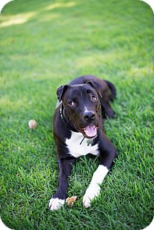 Pit Bull Terrier/American Pit Bull Terrier Mix Dog for adoption in Mission Viejo, California - Bao