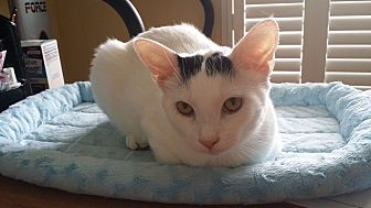 Calico Cat for adoption in Homosassa, Florida - Fluffy