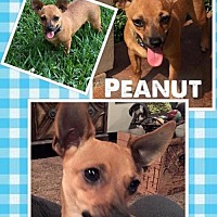 Chihuahua Dog for adoption in Lindale, Texas - Peanut