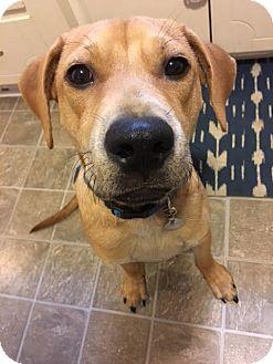 Labrador Retriever Mix Puppy for adoption in Nanuet, New York - Skipper