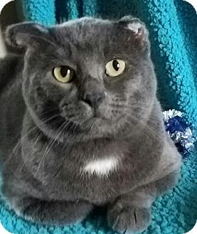 Domestic Shorthair Cat for adoption in Colfax, Iowa - Duncan