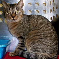 American Bobtail Cat for adoption in Dallas, Texas - Alice