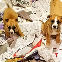 Adopt A Pet :: Shepherd/Boxer pups! *ADOPTED! - Chicago, IL