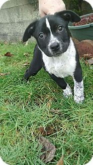 Blue Heeler/American Pit Bull Terrier Mix Puppy for adoption in Salem, Oregon - Heath